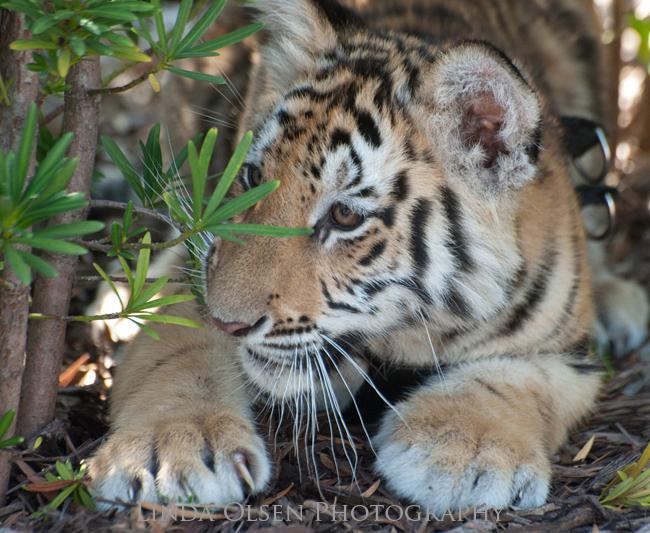 Tigar Cub