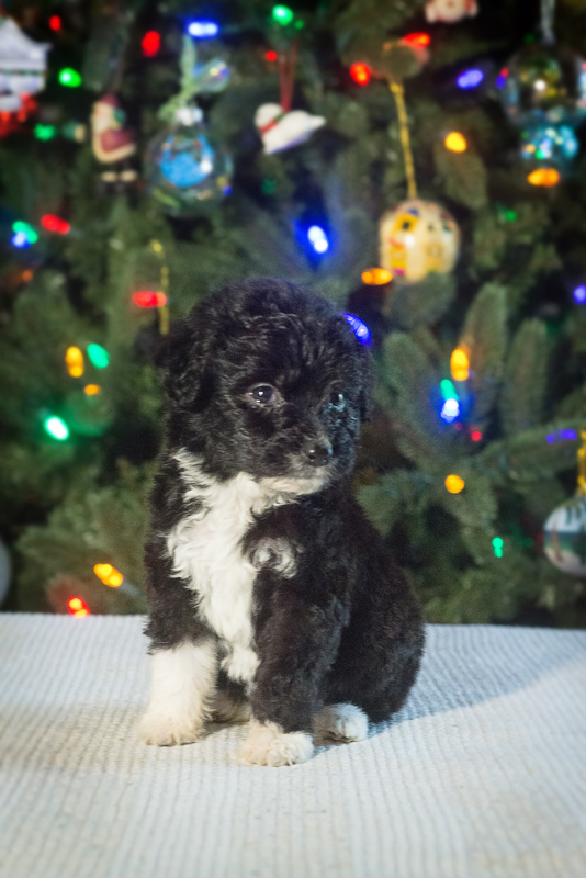 This Christmas, several of my friends adopted puppies. Deb and Scott go a new 7 week old baby Australian Labdradoodle. OMG  So darling and only 2 pounds. I brought a video light over and set the babies on a table near their Christmas tree. No flash on the camera.